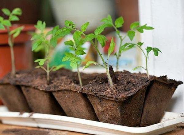 После удачного проростания необходимо перенести черенки в почву