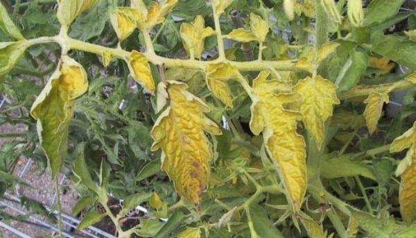 Листва томатов желтеет по самым разным причинам
