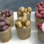 Семенные клубни картофеля, выращенные из семян