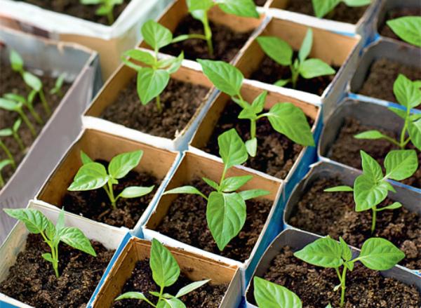 Молодые ростки сладкого перца