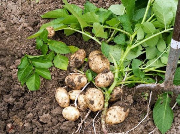 Выкапывание картошки на дачном участке