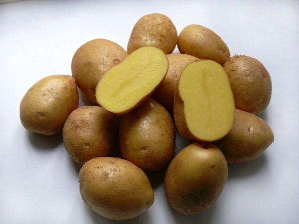 Раннеспелый сорт картофеля Импала