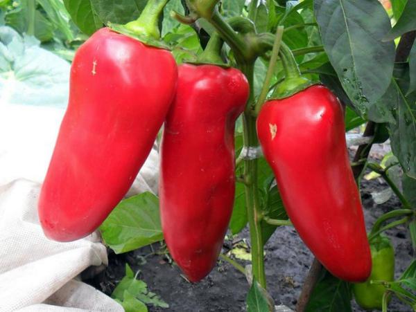 Сладкий перец Маринкин язычок