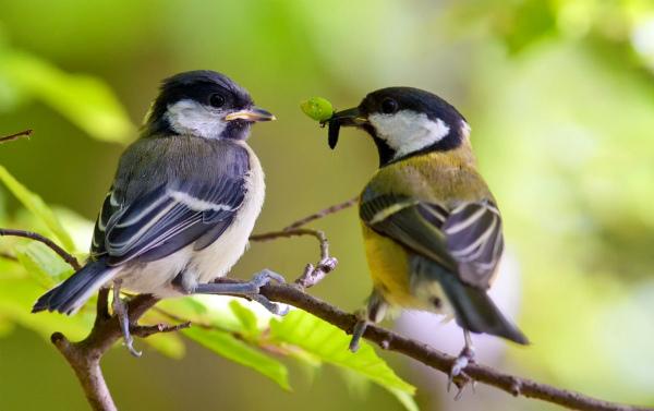 Привлеченные на участок птицы охотно питаются тлей