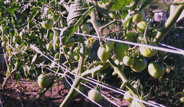 Созревание помидоров Бычье сердце на грядке