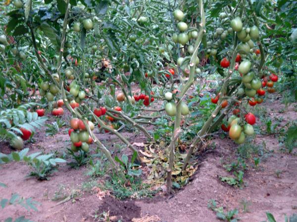 Плодоношение высокорослых кустов томатов Де Барао