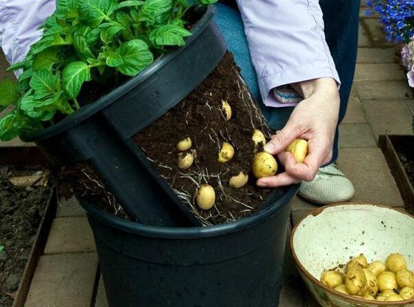 Сбор урожая картошки, выращенного в специальной бочке