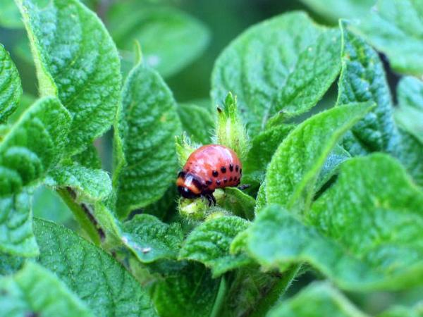Колорадский жук на картофельной ботве