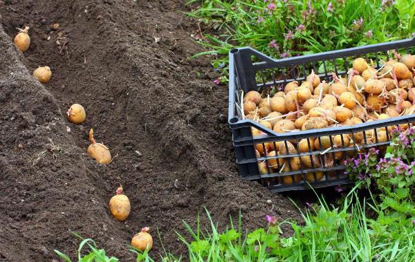 Традиционный способ посадки картофеля в грунт