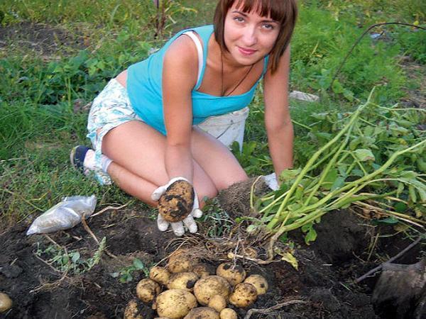 Сбор урожая картофеля на даче