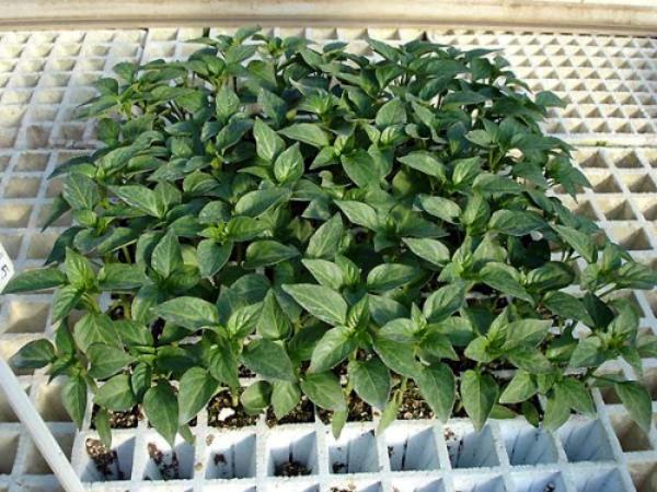 Проращивание перца на рассаду