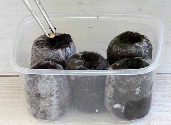 Подготовленные семена помещают в индивидуальные торфяные горшки