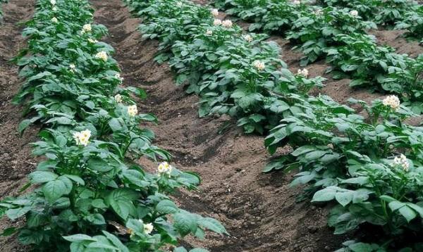 Цветущий картофель на поле
