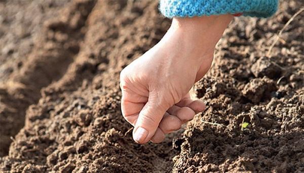 Посев семян свеклы в грунт