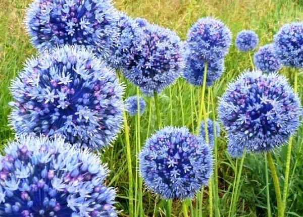 Голубые цветы лука на огороде