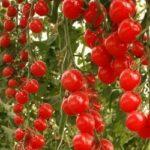 Большой урожай помидоров