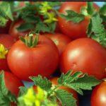 Фото томатов Белый налив
