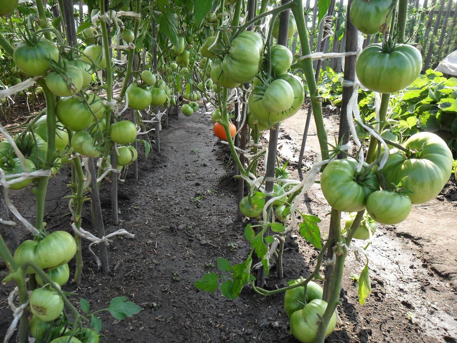 Грядка сформированных индетерминантных помидоров