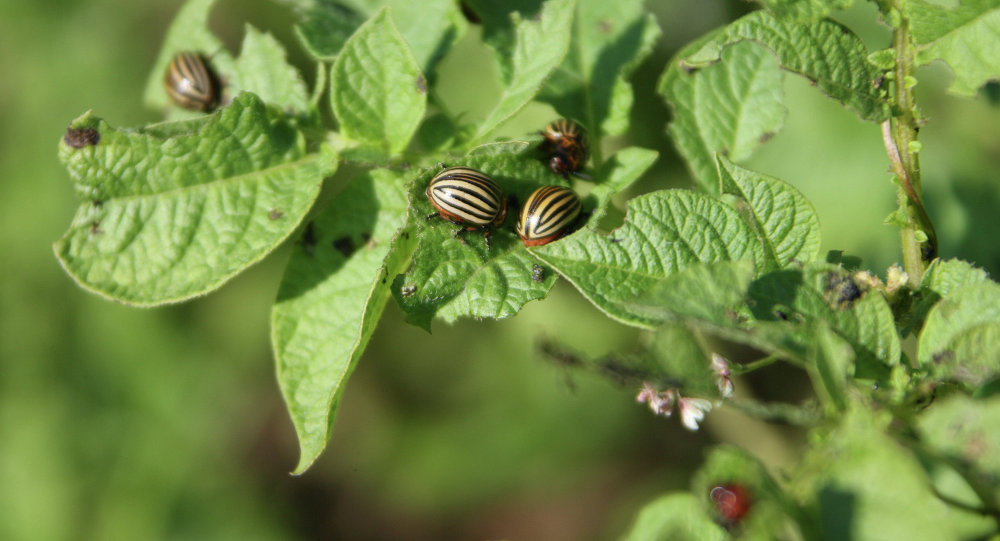 Колорадские жуки на листках картофеля