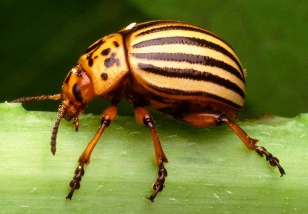 Колорадский жук - вредитель баклажанов