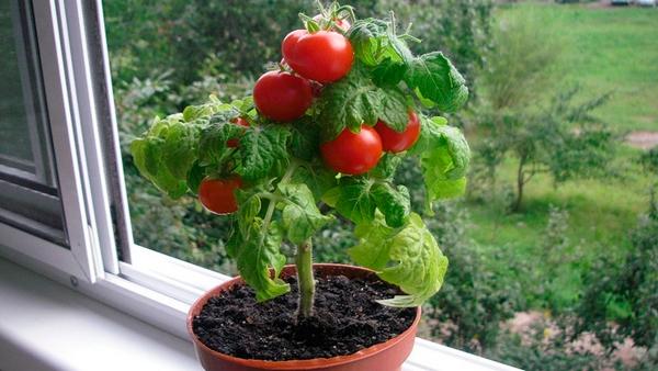 Куст помидоров в горшке на балконе