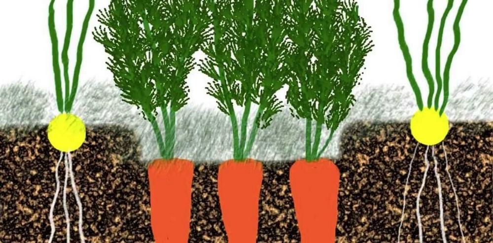 Морковь и лук, растущие рядом