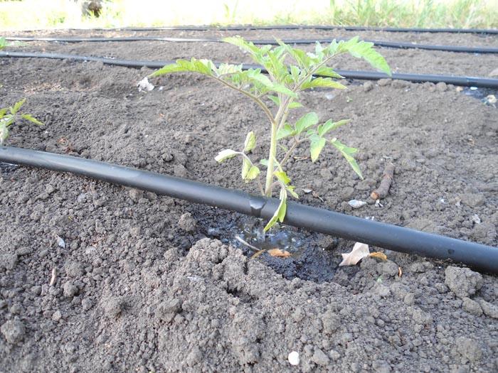 На фото пример капельного полива томатов