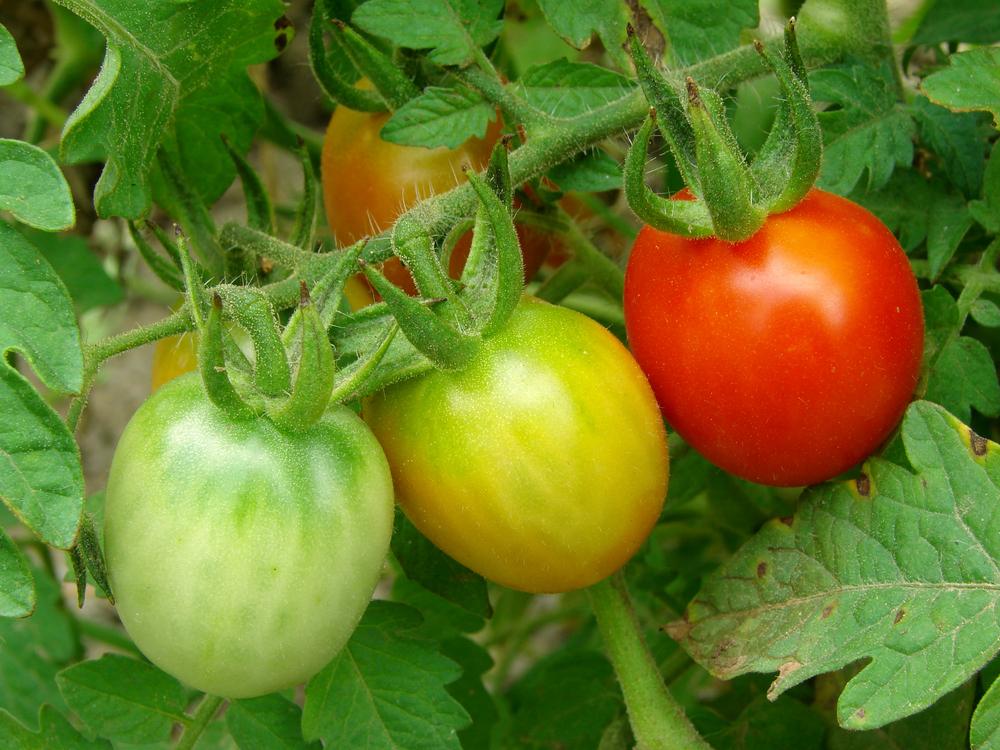 Недозрелые томаты крупным планом