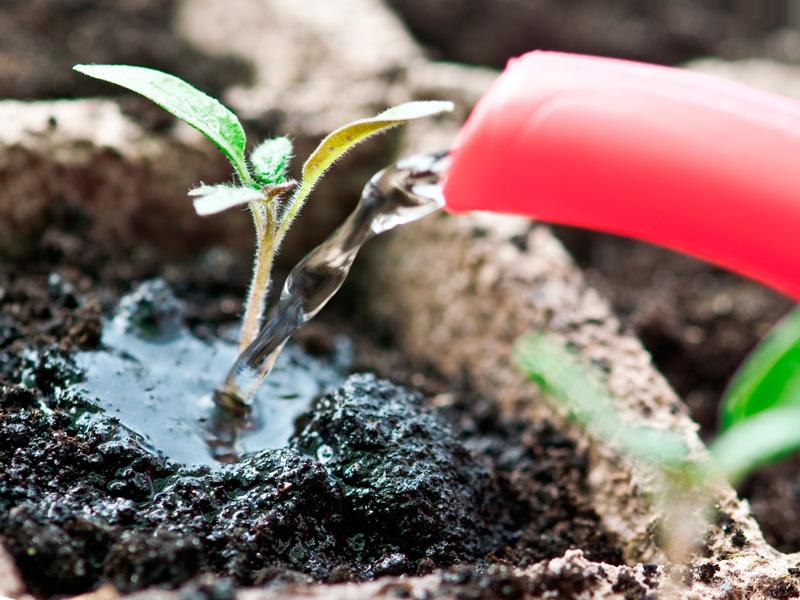 Процесс полива рассады помидоров
