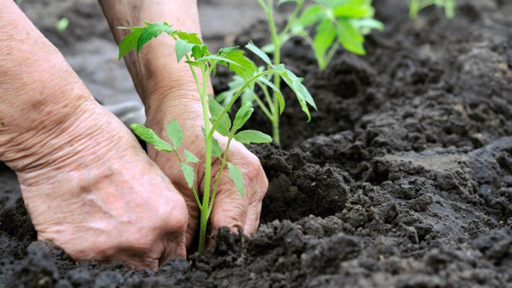 Рассаду томатов Красная Шапочка высаживают в грунт