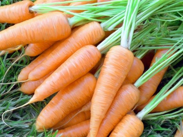 Щедрый урожай моркови