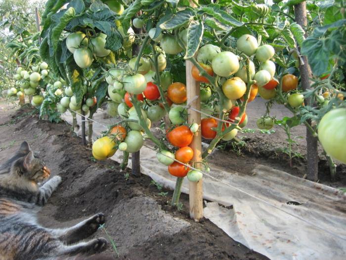 Выращивание Красной шапочки в открытом грунте