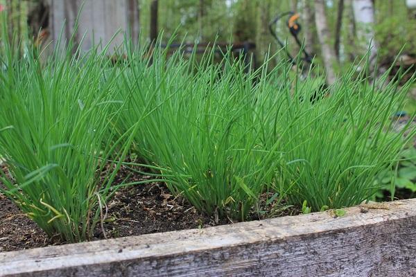 Зеленый лук на участке