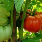 Спелые и зеленые помидоры на кусте