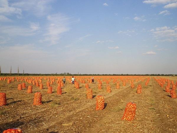 Лук собран в сетки на поле