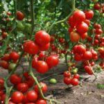 Урожай томатов устойчивых к бурой пятнистости