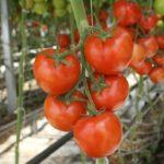 Ветка здоровых томатов в теплице