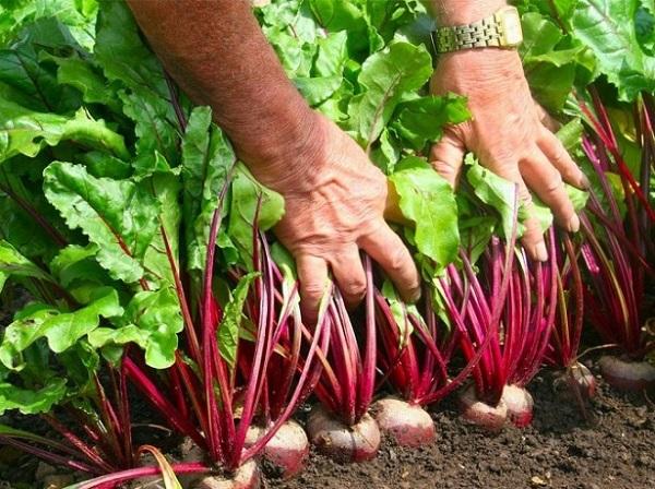 Урожай свеклы в огороде