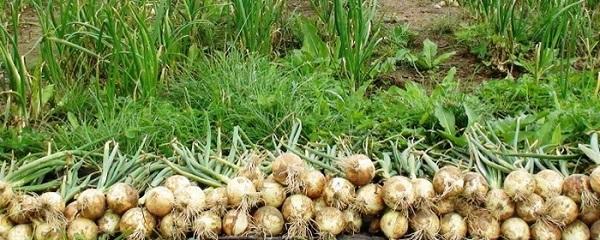 Собранный лук на огороде