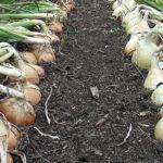 Урожай гигантского лука