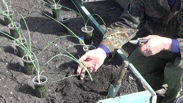 Рассада зеленого лука