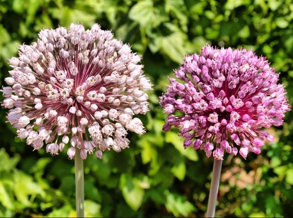 Цветущий лук на огороде