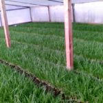Зеленый лук в теплице