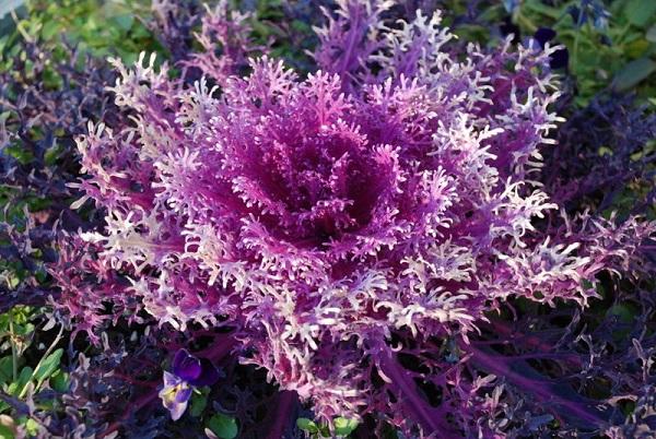Декоративная капуста на участке: сорта и выращивание