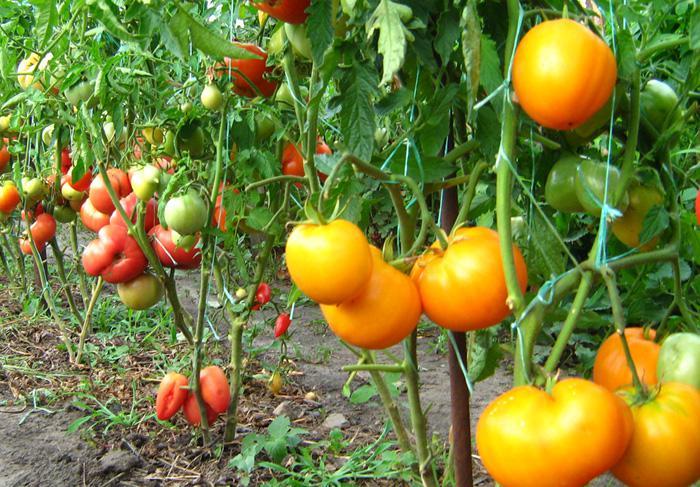 Куст томатов на грядке