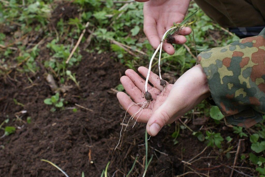 Луковицы черемши в руке