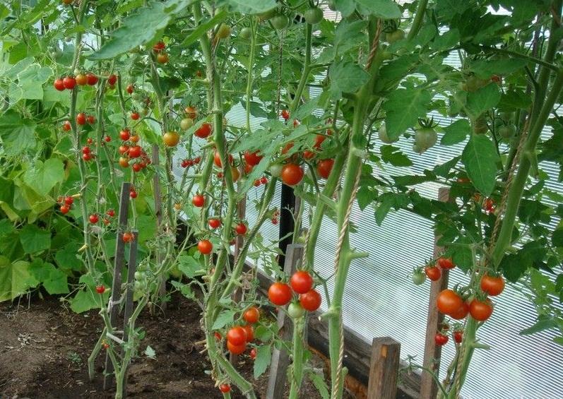 Высокорослые томаты черри