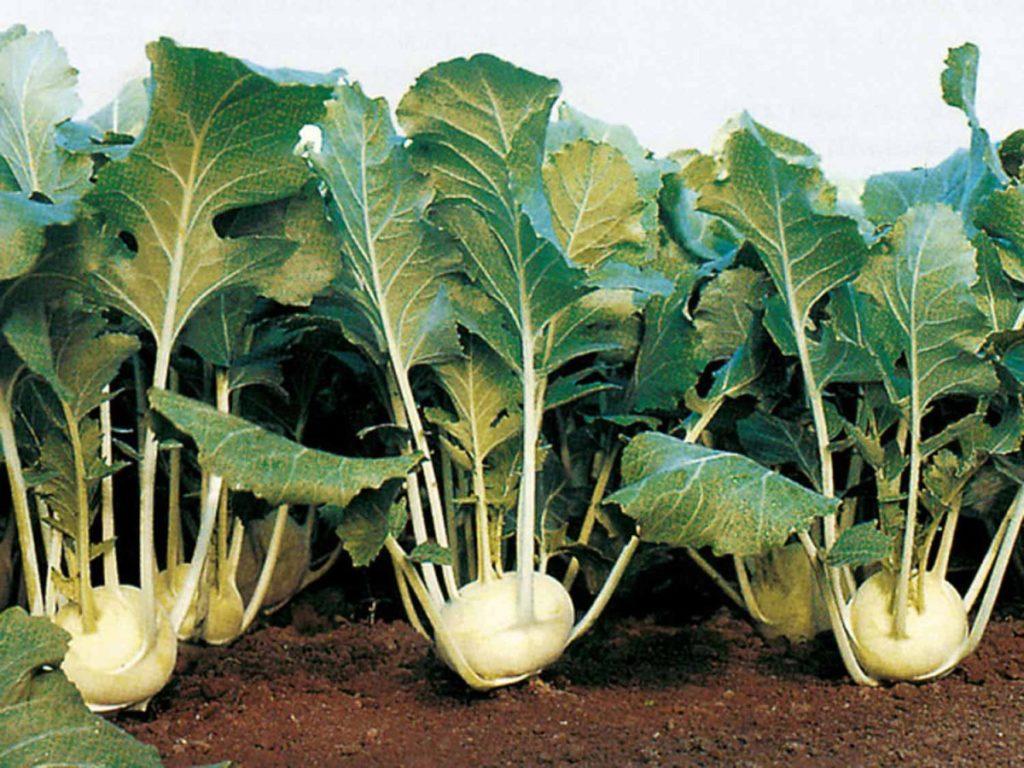 Посев капусты кольраби