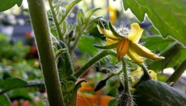 Цветки у тепличных помидоров