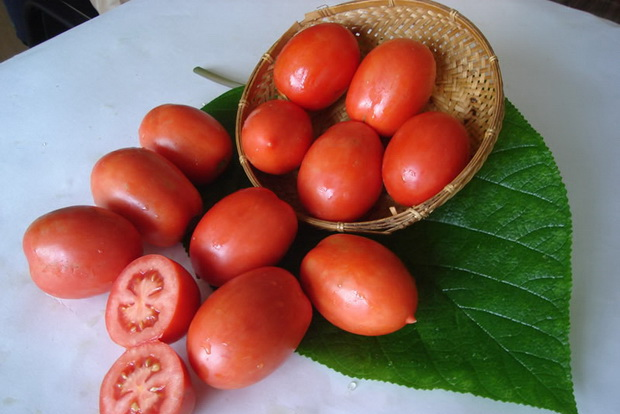 Сорт помидоров челнок